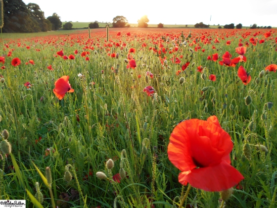 Poppy Field Sunset  at www.elistonbutton.com - Eliston Button - That Crafty Kid