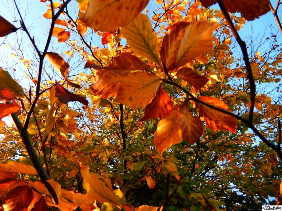 Orange and Yellow Autumn Leaves on Trees at Dovers Hill, Cotswolds, UK - An Autumn Adventure at www.elistonbutton.com - Eliston Button - That Crafty Kid