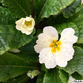 Day 03 - Water - Water Droplets on a Primrose Flower - Photo-a-Day - January 2016 at www.elistonbutton.com - Eliston Button - That Crafty Kid – Art, Design, Craft and Adventure.